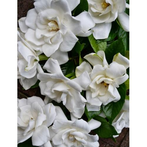 White Gardenia 10-Pack 3 Layer Votive
