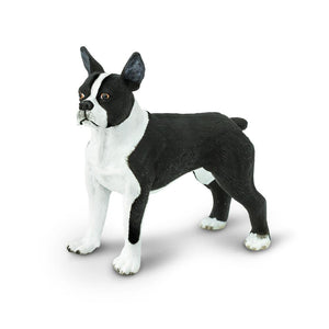 255029-Boston Terrier