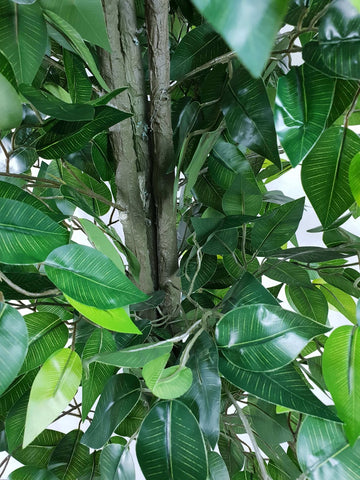 Mixed Green Bushy Ficus 180cm