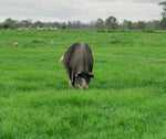 A Forage Farms Pasture Raised Sow in the paddock