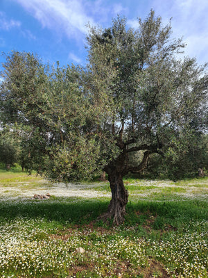 Olive tree in the Opus olea olive grove in southern Greece