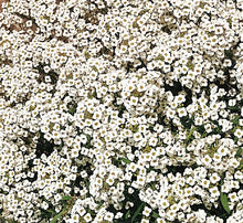 Load image into Gallery viewer, Alyssum Carpet of Snow - Flower Plant - 6pk