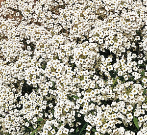 Alyssum Carpet of Snow - Flower Plant - 6pk