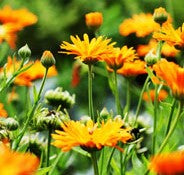 Load image into Gallery viewer, Calendula Kinglet Formula Mixed - Flower Plant - 6pk