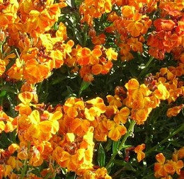 Wallflower Tom Thumb - Flower Plant - 6pk