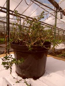 Thyme English Winter - Herb Plant - Large pot