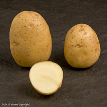 Load image into Gallery viewer, Duke of York Seed Potato (1st E) - 2 kg