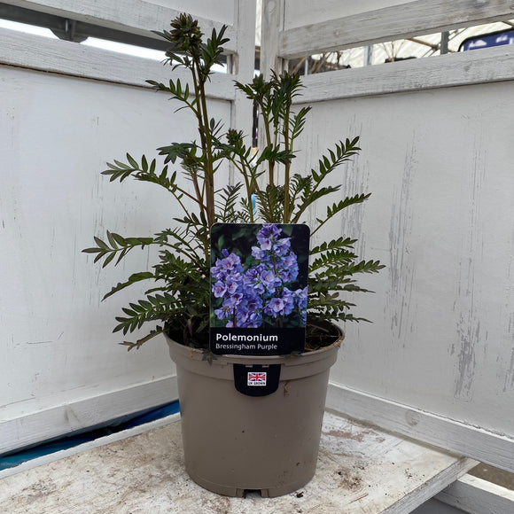 Polemonium Bressingham Purple 2L