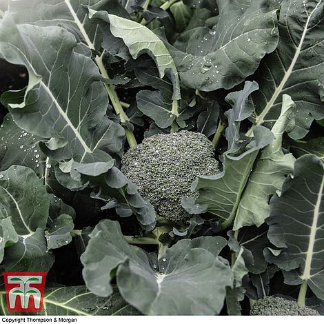 Broccoli 'Green Magic' Seeds