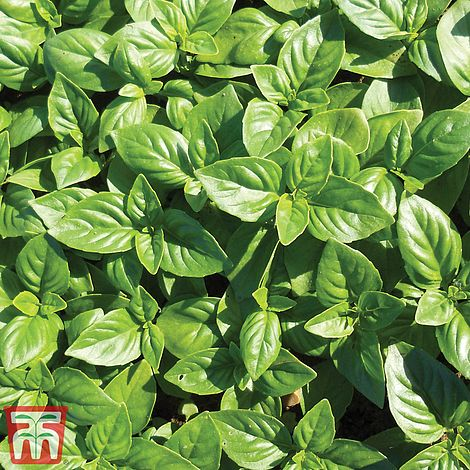 Basil 'British Basil' Seeds