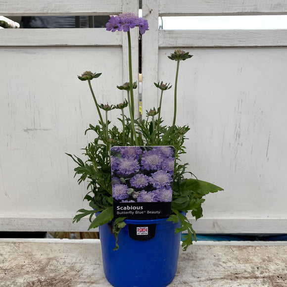 Scabious Butterfly Blue 1.5L
