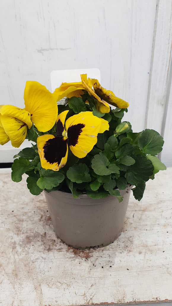 Pansy Blotch 1L