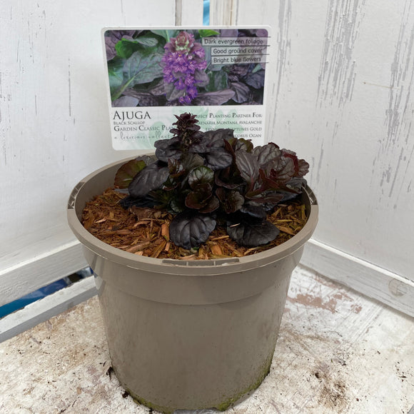 Ajuga Black Scallop 2L