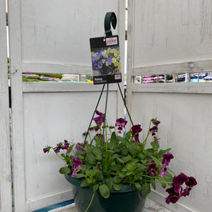 Pansy Hanging Basket - Our Choice of Colour