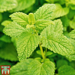 Herb Lemon Balm Seeds
