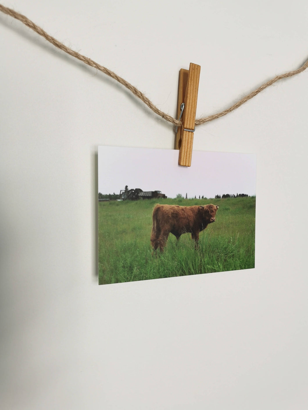 local views (cow) postcard