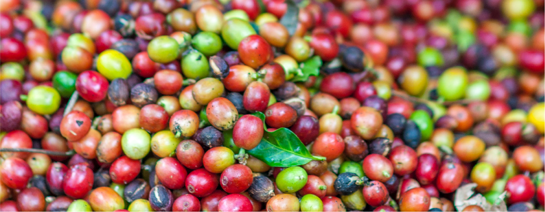 Coffee Life Blog by EspressoWorks - Farm to Machine: Learn How Coffee Is Made