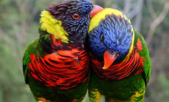 Lory Lories Lorikeets