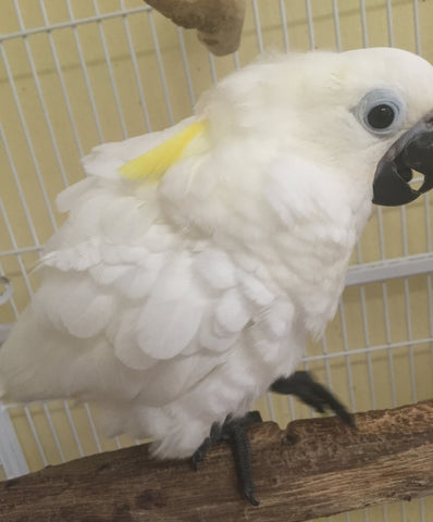 Yellow Crested  Umbrella / Eleanora hybrid Cockatoo