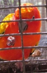 Sun Conure red factor baby
