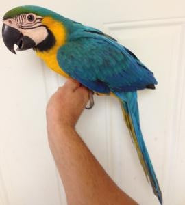 Copy of Blue and Gold macaw