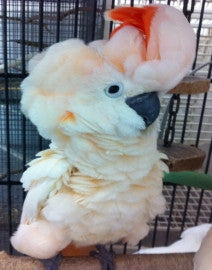 Moluccan Cockatoo handfed baby for sale | Best Birds Aviary