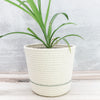 Planter (evergreen)