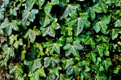ivy poisonous for cats