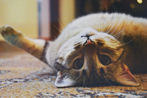 funny indoor cat laying on floor playing