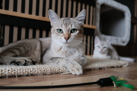 adult cat nutritional needs