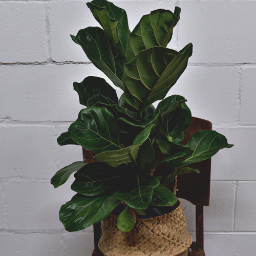 Fiddle Leaf fig - Grow Indoor Plants