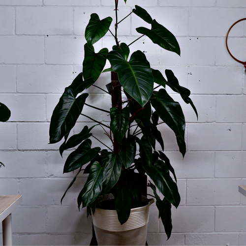 Red Wing Philodendron - Grow Indoor Plants