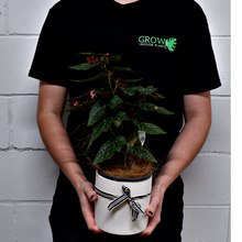 Load image into Gallery viewer, Begonia Maculata - Grow Indoor Plants