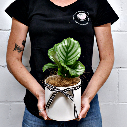 Calathea Orbifolia - Grow Indoor Plants