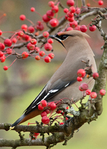 Bohemian Waxwing Holiday Cards, 20 or 100 Cards