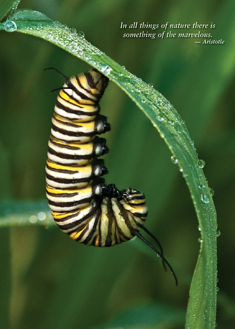 Monarch Caterpillar Greeting Cards, blank inside