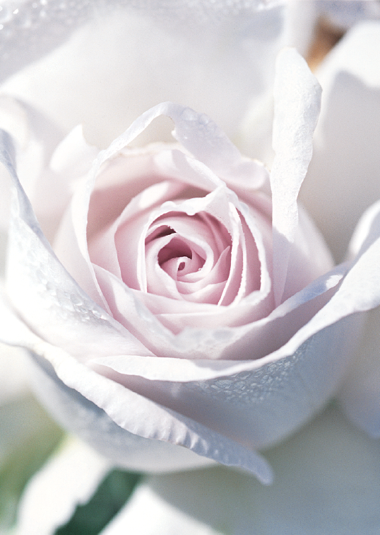 White Rose Greeting Cards, blank inside