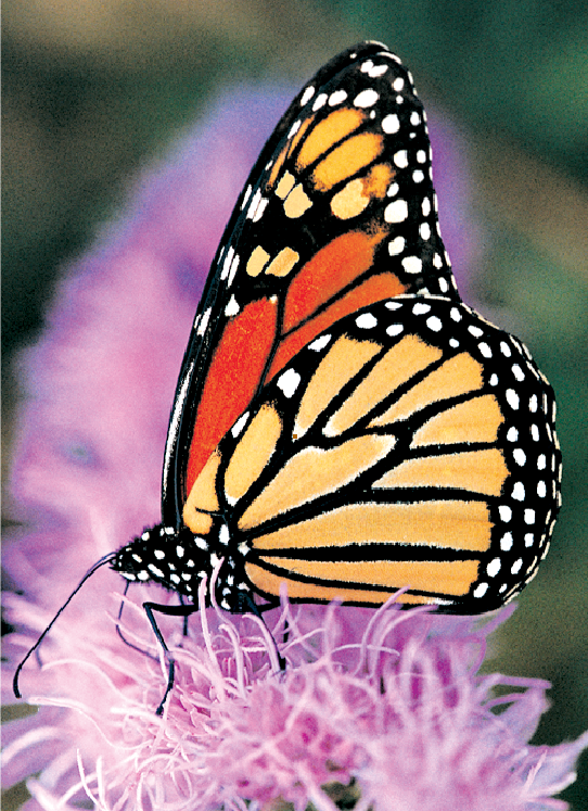 Monarch Butterfly Greeting Cards, blank inside