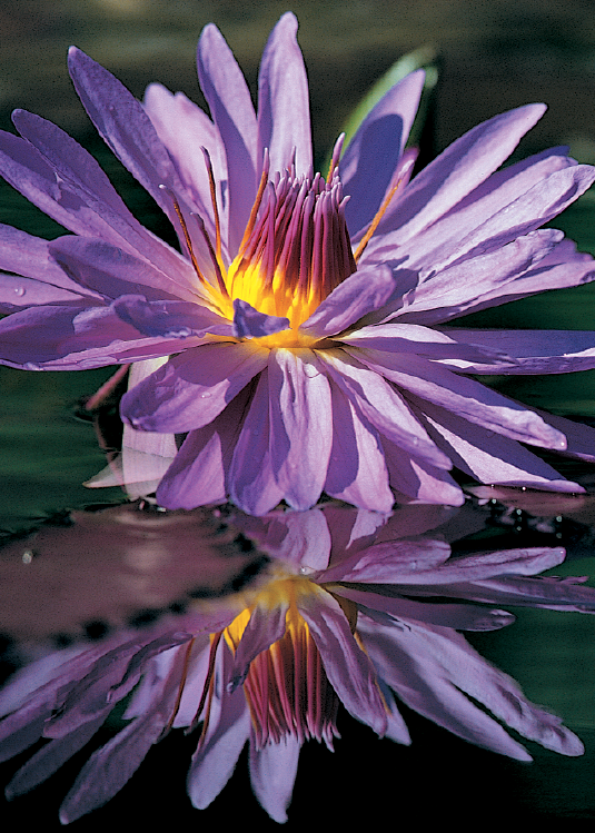 Purple Water Lily Greeting Cards, blank inside