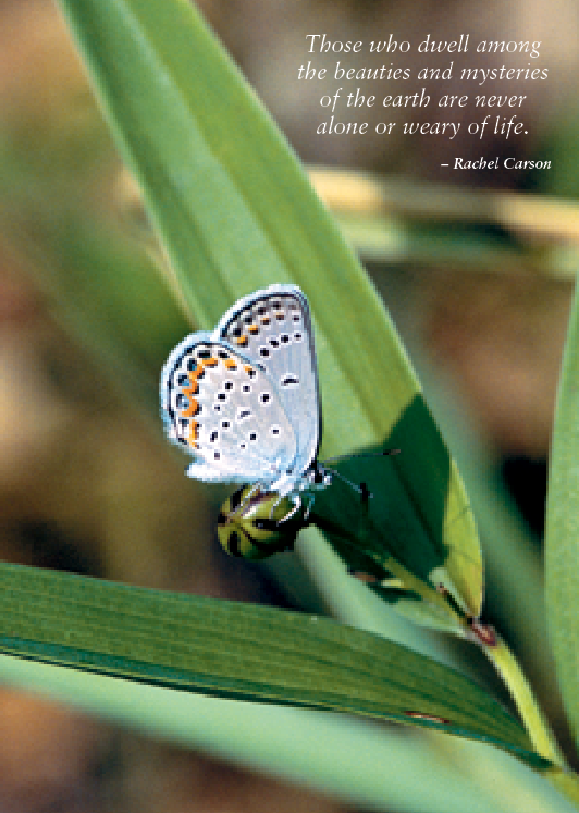 Karner Blue Butterfly Greeting Cards, blank inside