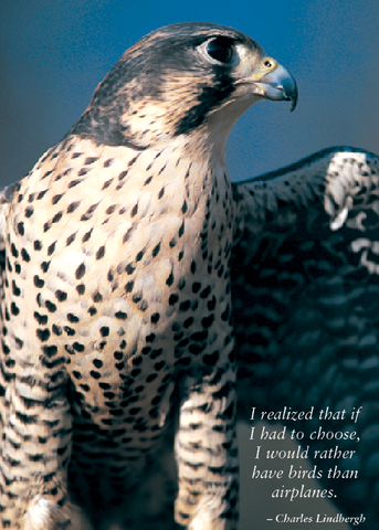 Peregrine Falcon Greeting Cards, blank inside