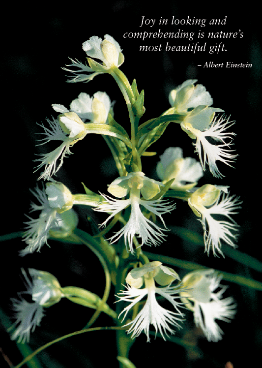 Eastern White Fringed Orchid Greeting Cards, blank inside