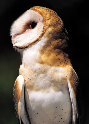 Barn Owl Greeting Cards, blank inside