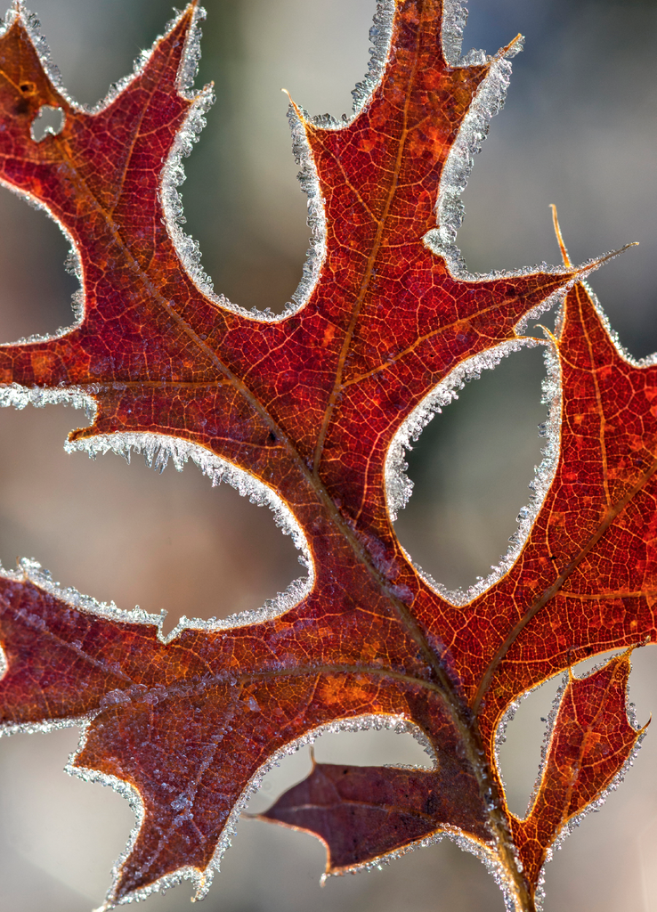 Frosted Oak Leaf Holiday Cards, 10 or 20 Cards