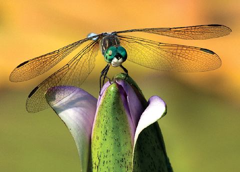 Dragonfly on Water Lily Greeting Cards, blank inside