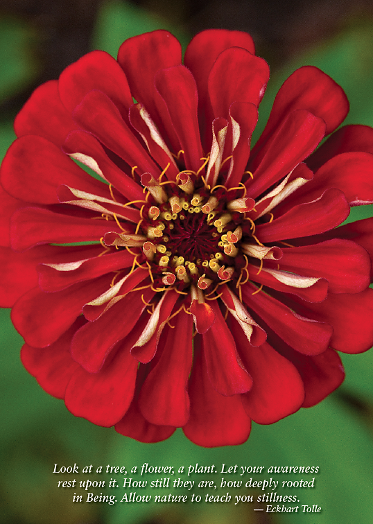 Red Zinnia Greeting Cards, blank inside