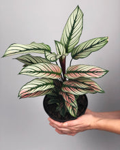 Load image into Gallery viewer, White Star Calathea