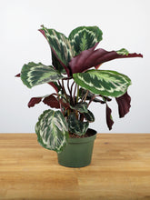 Load image into Gallery viewer, Medallion Calathea