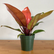 Load image into Gallery viewer, Prince of Orange Philodendron