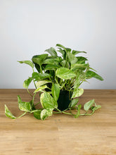 Load image into Gallery viewer, Queen Marble Pothos